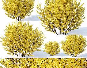 Forsythia Nr1 full bloom - 5 sizes 3D model