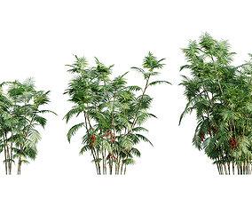 Chamaedorea microspadix - Mexican Bamboo Palm - 02 3D