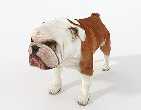3D asset Bulldog