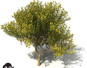 3D model XfrogPlants Coastal Wattle