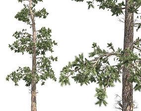 3D model Eastern white pine tree