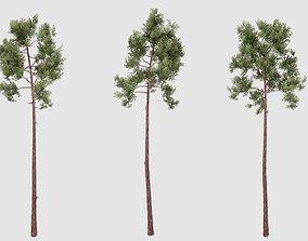 3D model Pine tree 3d