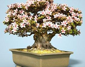 3D model Satsuki Bonsai Tree Blossom 15