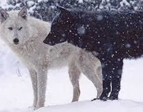 black g white wolf running 3D asset