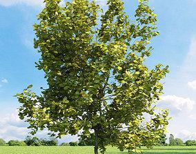 Quercus robur Concordia 033 v2 AM136 3D model