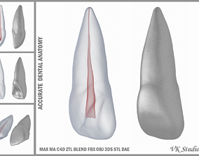 3D Human Upper Left Central Incisor Tooth With Pulp Cavity