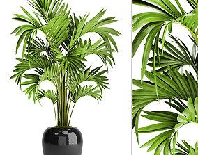 Howea Forsteriana Palm 3D