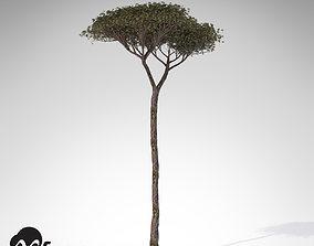 3D model XfrogPlants Italian Stone Pine