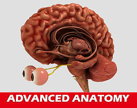 High quality human brain 3D model