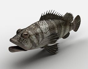 Grouper Epinephelussp Rockfish 3D asset