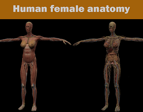 3D model circulatory Human FEMALE anatomy