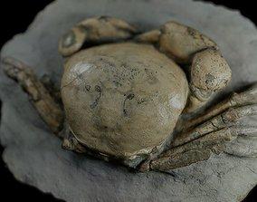 Fossil Crab TUMIDOCARCINUS GIGANTEUS 3D model