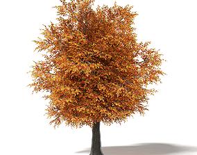 park Common Oak 3D Model 7m