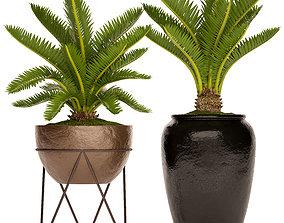 3D model Cycas palm tree 5