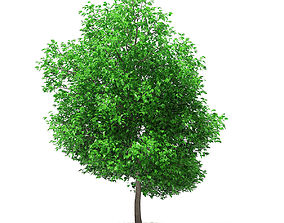 Grapefruit Tree 3D model