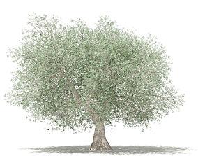 3D model Olive Tree leaf