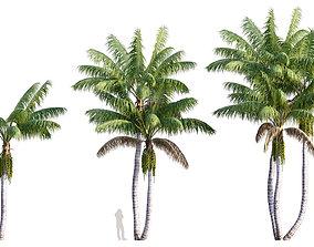 3D Howea forsteriana Mature - Kentia Palm Mature - 02