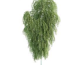 3D Tree Betula Utilis Himalayan Birch