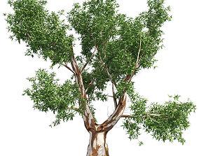 3D asset Red Gum Tree