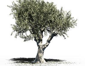 Olea Europea Olive Tree v2 3D