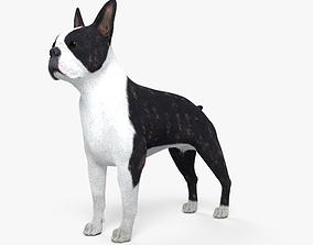Boston Terrier HD 3D model
