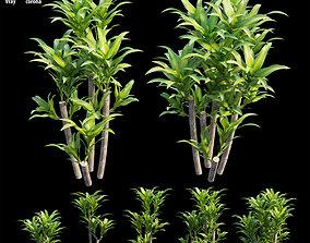 Dracaena Corn Plant set 04 3D