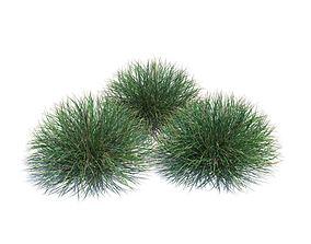 Ornamental Festuca Grass Plant 3D