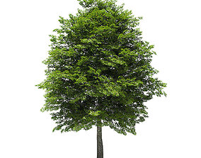Scotch Elm 3D Model 12m
