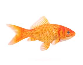 Goldfish underwater 3D