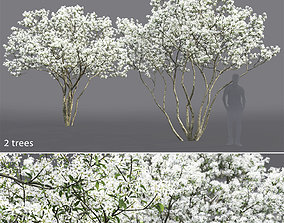 3D model Amelanchier Flowering 01