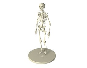 skeletON full 3D model