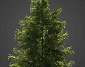 2021 Japanese Hemlock - Tsuga Diversifolia 3D