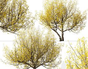 3D Set of Flowering Cornus mas or Cornelian cherry Trees 2