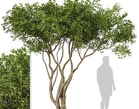 Set of Olive or Olea Europaea Trees - 2 Trees 3D