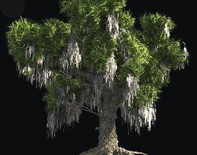 Live Oak Tree 3D asset
