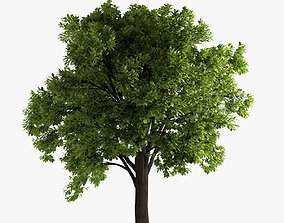 plant oak tree 3D model