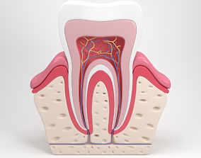 3D Tooth anatomy