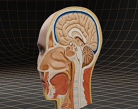 Anatomy head cutaway 3D model
