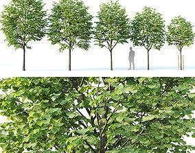 3D model Tilia europaea Nr 1 H4-7m Five tree set
