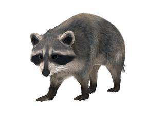 Realistic raccoon 3D model