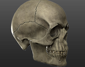 Skull - Human Male - Medical Anatomy - Low Poly 3D model 2