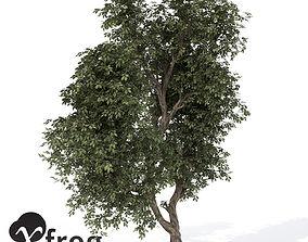 3D model XfrogPlants Hornbeam 1