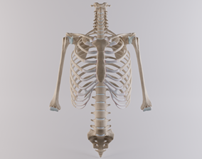 Thoracic cage with all vertebrae and shoulder joint 3D 1