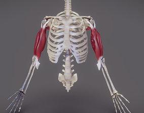 Upper Arm Muscles - 01 3D model