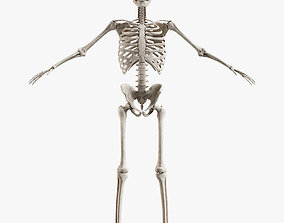 Male Skeleton 3D asset