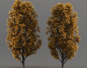 Fraxinus Nigra fraxinus 3D