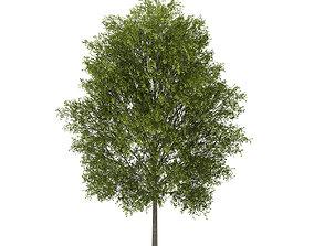 3D model Poplar 3 Populus