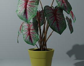 Indoor plant bicolor caladium 3D model game-ready