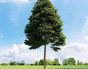 Quercus palustris 011 v1 AM136 3D model