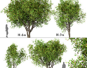 3D model Set of Acer Ginnala or Amur Maple Trees - 4 Trees